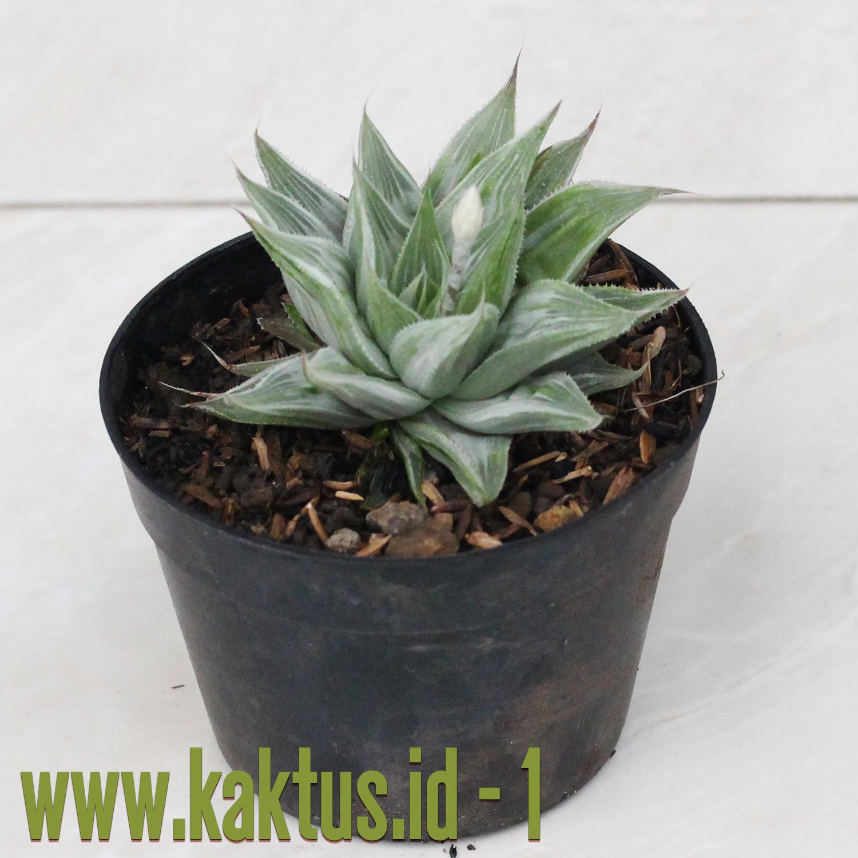 Haworthia Magnifica Var. Acuminata cv. Grey Ghost
