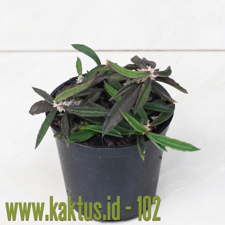 Euphorbia Cylindrifolia Tuberifera