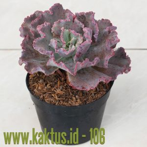 Echeveria Chantilly Pink Leaves