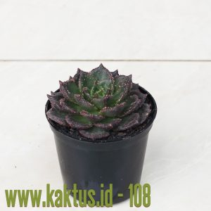 Echeveria Black Prince Mutation