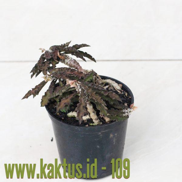 Euphorbia Decaryi Var. Spirosticha