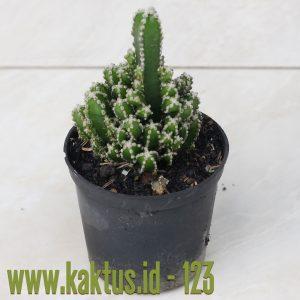 Acanthocereus Tetragonus 'Fairy Castles' – Fairy Castle Cactus