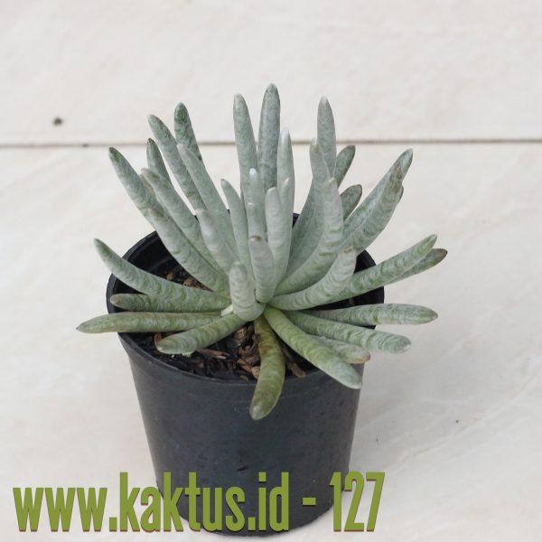 Senecio Mandraliscae