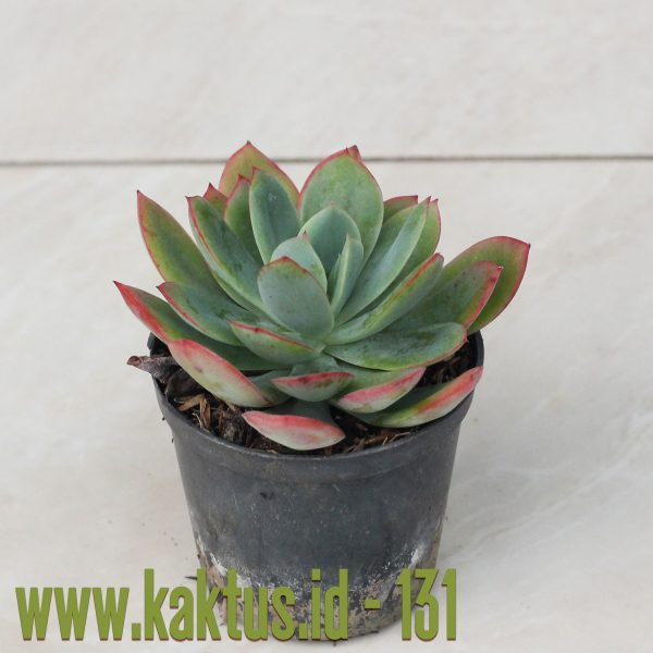 Echeveria Lemon and Lime