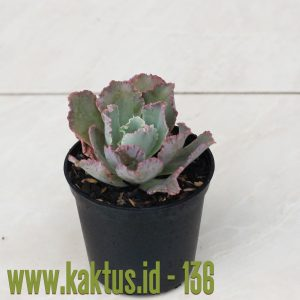 Echeveria Chantilly