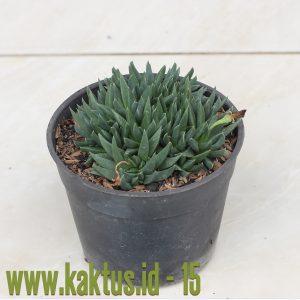 Bergeranthus Multiceps