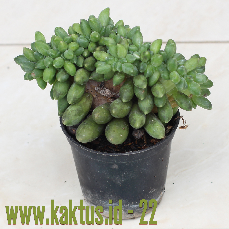 Pachyphytum Compactum F. Cristata