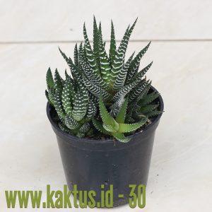 Haworthia Fasciata