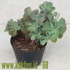 Echeveria Shaviana Curly Cristata