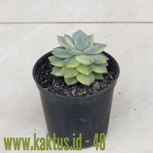 Graptoveria Titubans Variegated