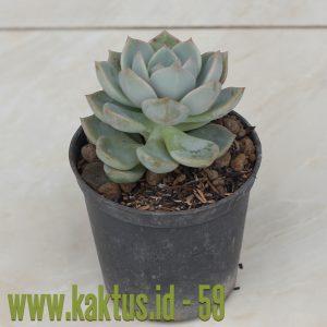 Cactus Succulent Online Store Indonesia  4a1513eee5