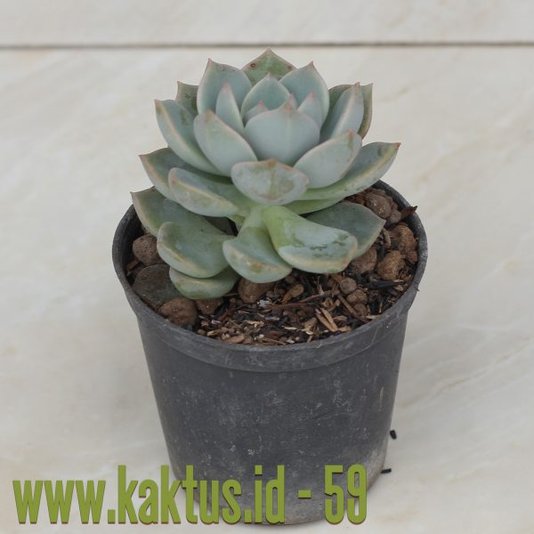 Graptoveria Titubans