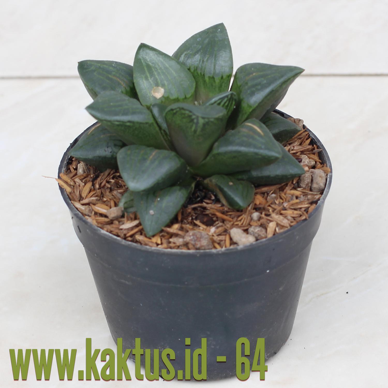 Haworthia Silver Mutica