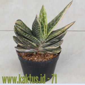 Gasteria Brachyphylla Variegated