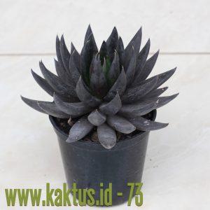Echeveria affinis 'Black Knight