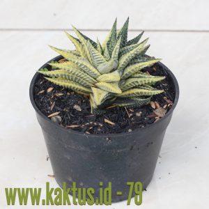 Haworthia Limifolia Fasciata Hybrid Variegated