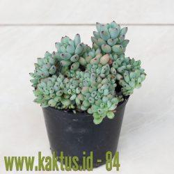 Graptopetalum Pachyphyllum