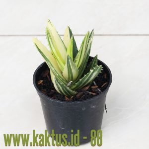 Aloe Maculata Variegated
