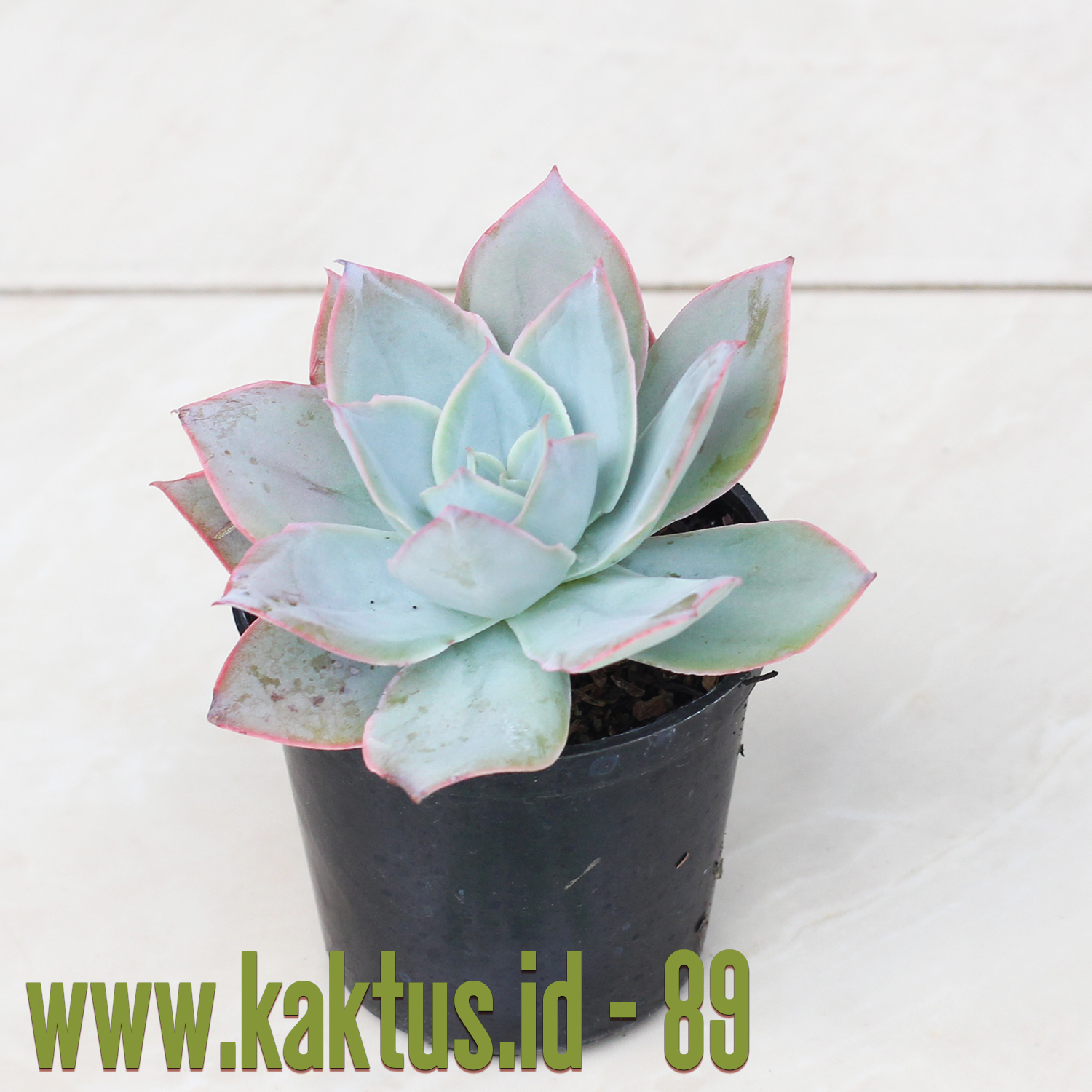 Echeveria Cante Pink Leaves