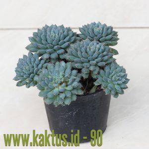 Echeveria Setosa Var. Deminuta Cluster