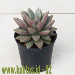 Graptoveria Araluen Gem