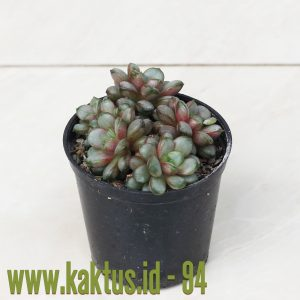 Graptoveria Amethorum Cluster