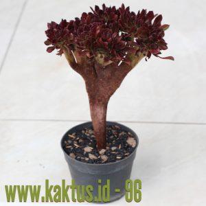 Aeonium Arboreum Atropurpureum Forma Cristata