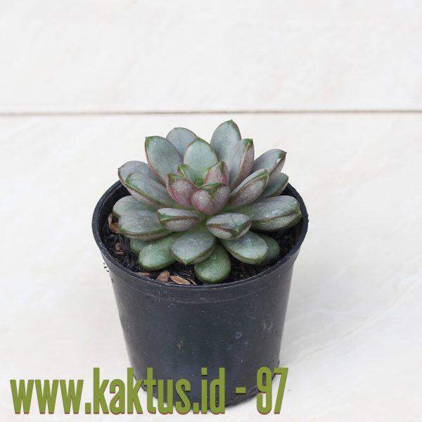Graptoveria Amethorum