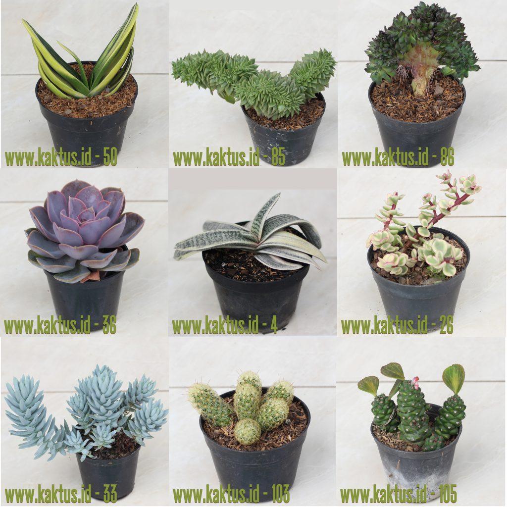 Cactus Succulent Online Store Indonesia Toko Kaktus