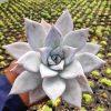 083. Echeveria Mexican Giant (1)