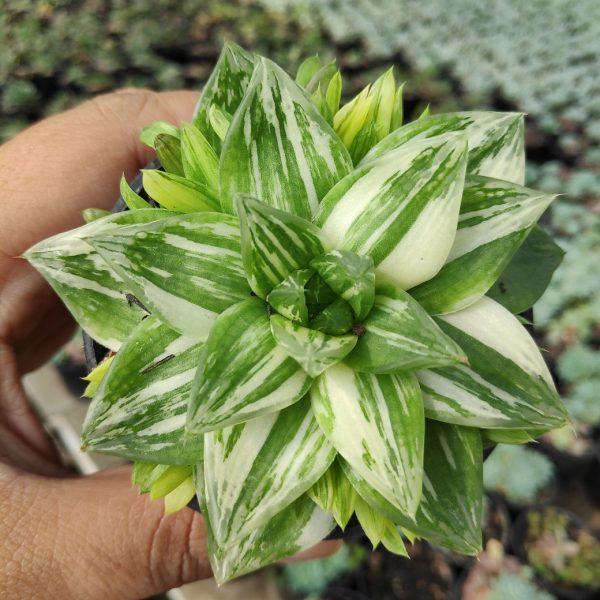 129. Haworthia Cymbiformis Variegated