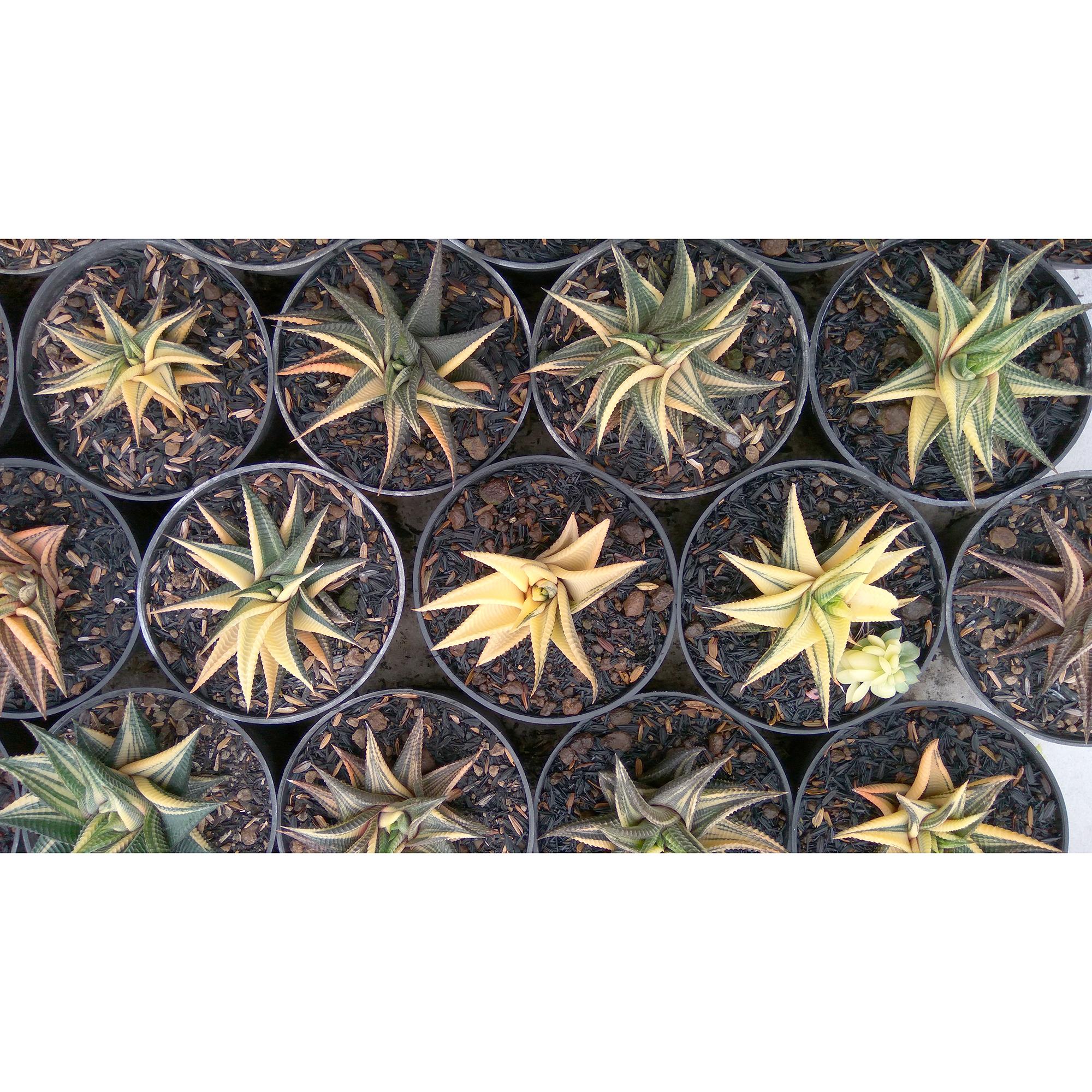Haworthia Limifolia Variegated