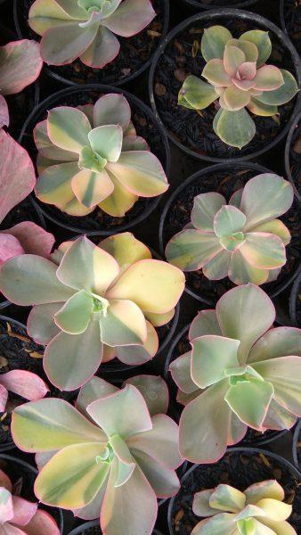Echeveria Shaviana Curly Variegated
