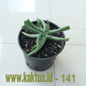 Kalanchoe Teretifolia
