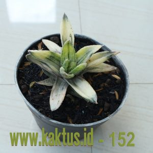 Haworthia Lemon Stripes