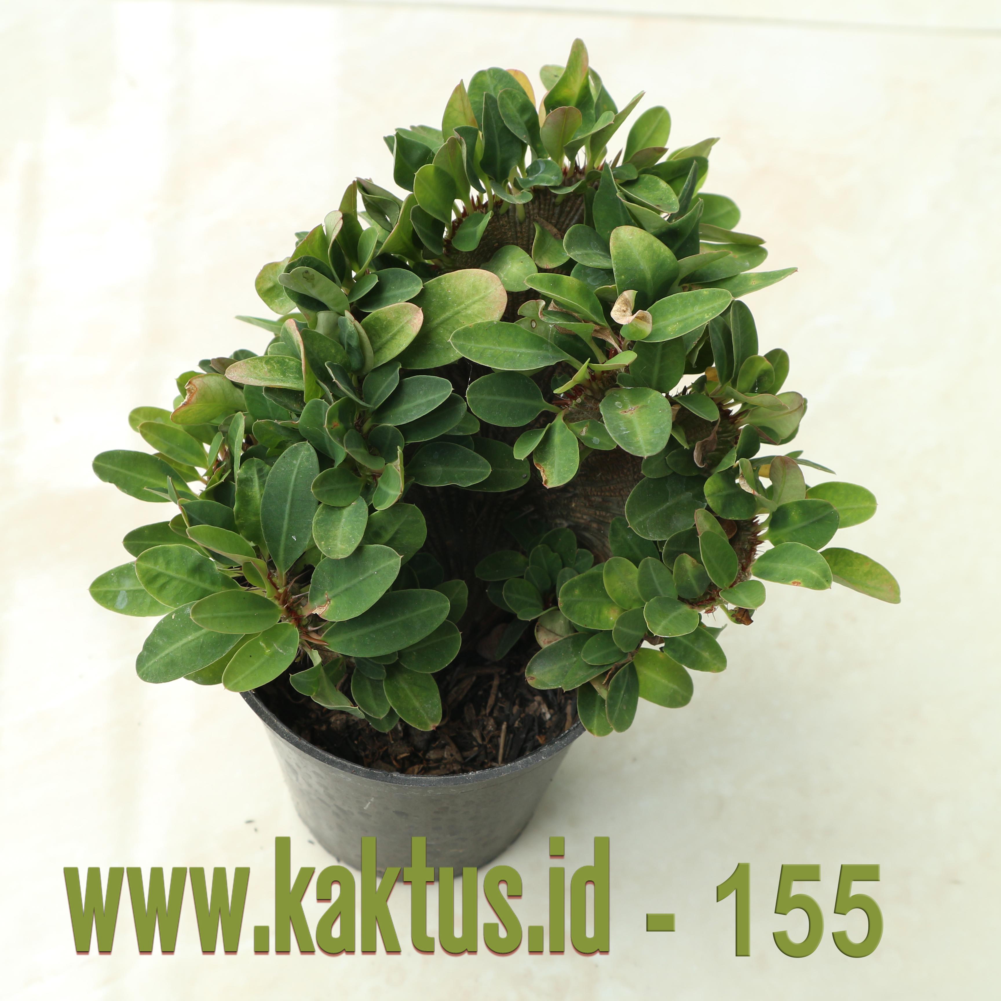 Euphorbia Milii Cristata