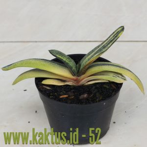 Gasteria Batesiana Yellow Variegated