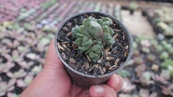 171. Haworthia Mantelii Hybrid ( Haworthia Truncata x Haworthia Cuspidata ( Haworthia Cymbiformis x Haworthia Retusa ) ) ( You'll Get 2 Pcs. Left and Right )