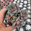 194. Echeveria Purpusorum Cluster