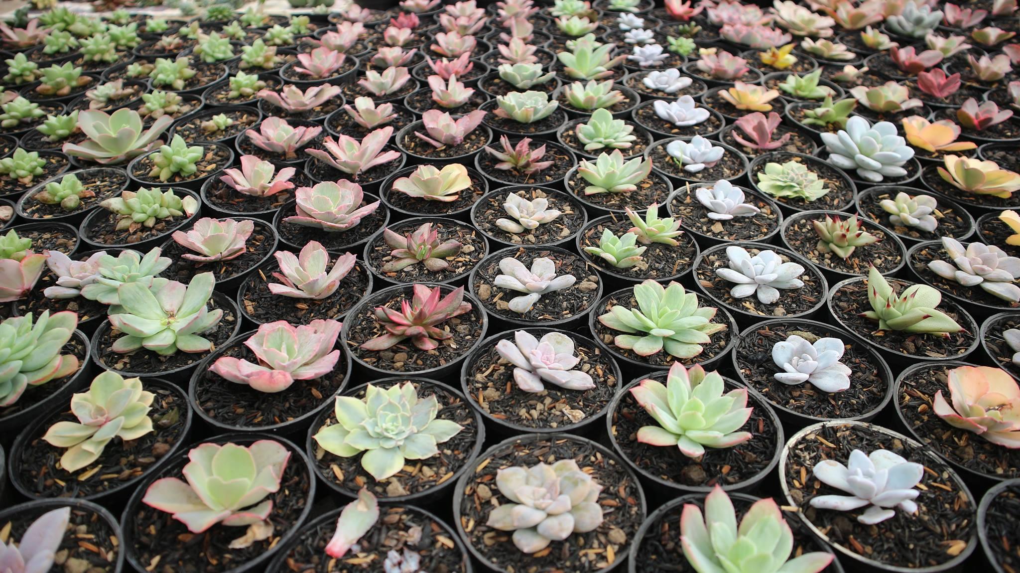 Jual Kaktus Sukulen Murah 10 Ribuan Www Kaktus Id